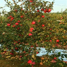 好管理的红将军苹果苗、红将军苹果苗哪里批发图片