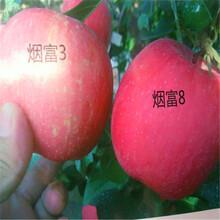 附近哪里有3公分苹果苗、3公分苹果苗报价图片