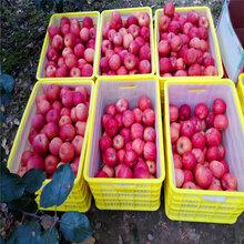 優質蘋果樹苗、蘋果樹苗出售基地圖片