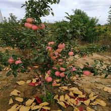 哪里批发红心苹果苗、红心苹果苗出售多少钱图片