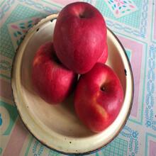 哪里有出售红富士苹果苗、红富士苹果苗品种图片