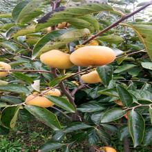 求购4公分柿子树苗、4公分柿子树苗一棵多少钱图片