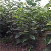 新品种胎里红柿子树苗、胎里红柿子树苗批发哪里便宜