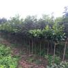 售无核柿子树苗、无核柿子树苗什么价格