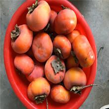 2019年5公分柿子树苗、5公分柿子树苗批发单价图片