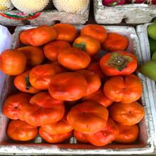 什么地方可以卖到合柿柿子树苗、合柿柿子树苗什么价格图片