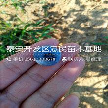 山东莱格西蓝莓苗、莱格西蓝莓苗基地图片