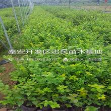 杰兔蓝莓苗哪里价格便宜、杰兔蓝莓苗哪里有卖