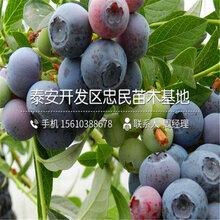 迪克西蓝莓苗批发、迪克西蓝莓苗价位