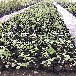 营养杯蓝莓苗供应基地、营养杯蓝莓苗批发多少钱