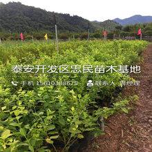 康维尔蓝莓苗、康维尔蓝莓苗价格、康维尔蓝莓苗批发