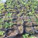 四年生蓝莓苗出售、四年生蓝莓苗什么价格
