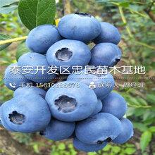 新品种黑钻苹果苗、黑钻苹果苗价格