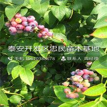 阳光蓝蓝莓苗报价、阳光蓝蓝莓苗哪里有卖