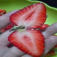 出售冬香草莓苗、冬香草莓苗价格