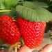 新品种奥巴草莓苗、奥巴草莓苗价格