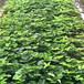 涪陵明日香珍珠草莓苗批发、涪陵明日香珍珠草莓苗价格