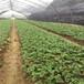 秀山牛奶草莓苗批发、秀山牛奶草莓苗价格