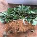 香港四季草莓苗批发、香港四季草莓苗价格