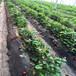 香港妙香3号草莓苗批发、香港妙香3号草莓苗价格
