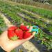 彭水红颊草莓苗批发、彭水红颊草莓苗价格