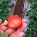 ?#26469;?#22235;季塞娃草莓苗批发、?#26469;?#22235;季塞娃草莓苗价格