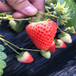 巫溪京怡香草莓苗批发、巫溪京怡香草莓苗价格