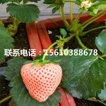 附近哪里有敘利亞草莓苗、敘利亞草莓苗批發多少錢圖片