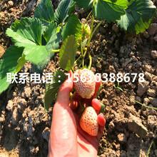 2019年阿尔比草莓苗出售、阿尔比草莓苗批发什么价格图片