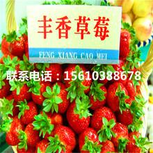 草莓王子草莓苗出售供应图片