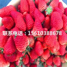 新品种咖啡草莓苗哪里有、咖啡草莓苗多少钱图片