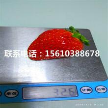 山东妙香7号草莓苗价格、妙香7号草莓苗出售价钱图片