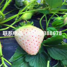 2019年京留香草莓苗价格、京留香草莓苗种植技术图片