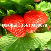 山东宁玉草莓苗批发、宁玉草莓苗销售价格图片