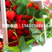 山东美香莎草莓苗报价、美香莎草莓苗出售价格是多少图片