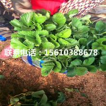 哪里卖法兰地草莓苗、法兰地草莓苗供应批发图片