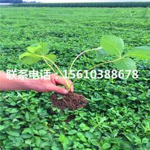 2019年宁玉草莓苗价格哪里便宜、宁玉草莓苗出售多少钱图片