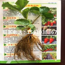 哪里出售达赛草莓苗、达赛草莓苗报价图片