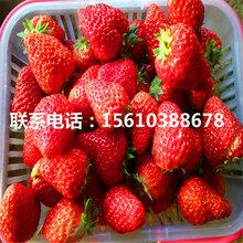 新品種四季草莓草莓苗批發、四季草莓草莓苗出售基地圖片
