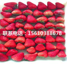 哪里卖四季塞娃草莓苗、四季塞娃草莓苗批发厂家图片