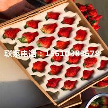 哪里批发妙香3号草莓苗、妙香3号草莓苗品种图片
