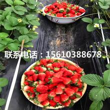 2019年妙香7号草莓苗哪里有、妙香7号草莓苗哪里有卖的图片