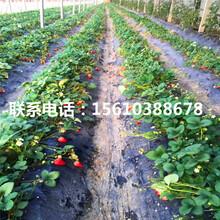 山东小白草莓苗批发、小白草莓苗什么价格图片