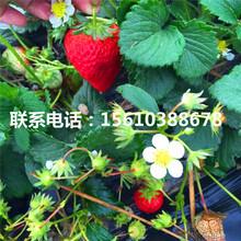新品种太空2008草莓苗价格哪里便宜、太空2008草莓苗批发什么价格图片