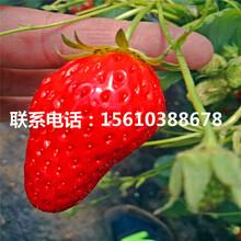 山东卡麦罗莎草莓苗基地、卡麦罗莎草莓苗附近哪里有图片