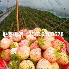 求购京泉香草莓苗、京泉香草莓苗一棵多少钱图片