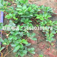 山东牛奶草莓苗多少钱一棵、牛奶草莓苗价钱低图片