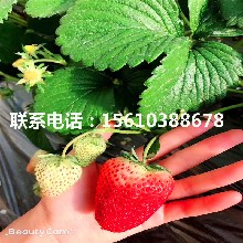 哪里卖甜宝草莓苗、甜宝草莓苗批发哪里便宜图片