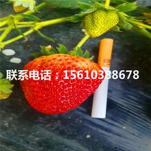 脱毒甜宝草莓苗、甜宝草莓苗批发多少钱图片