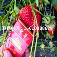 新品种红脸颊草莓苗报价、红脸颊草莓苗销售价格图片